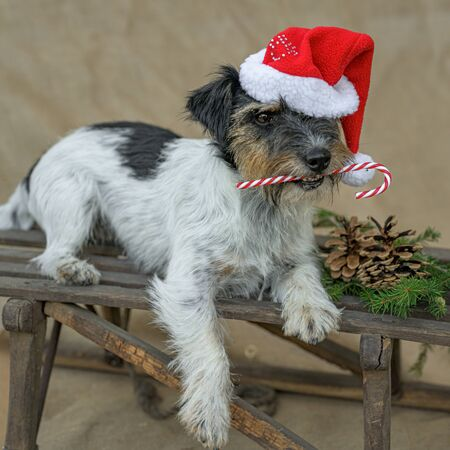 Little dog is holding a candy cane in his mouth in front of brown background and is lying on a sledge Foto de archivo - 129985002