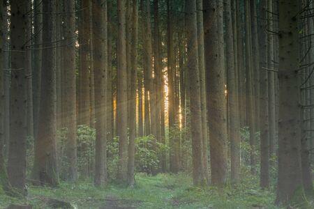 forest in sunlight in summer Foto de archivo - 129985012