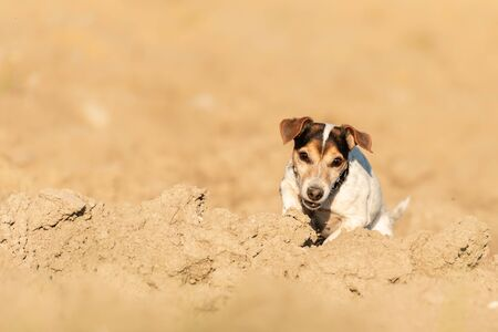 Cute 12 years old Jack Russell Terrier dog hiding behind a sand hill. He has fun Foto de archivo - 129985015