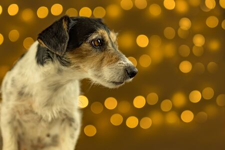 Little sad Jack Russell Terrier dog sits in front of blurred Christmas background. Foto de archivo - 129985033