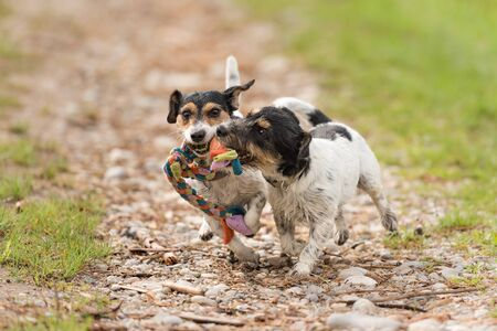 Two dogs run and play with a ball in a meadow - a cute Jack Russell Terrier puppy with her bitch Foto de archivo - 129985034