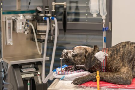 Dog intubated in small surgery room of veterinary clinic