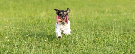 Small Jack Russell Terrier dog is holding a dumbbells in the catch outdoor. Doggz is runnig across a green meadow Imagens