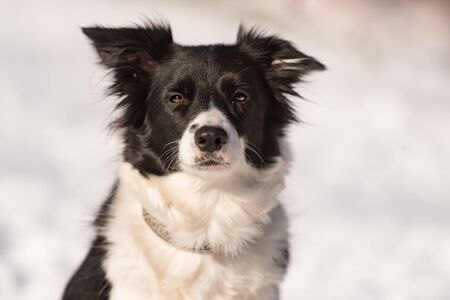 Obedient Border collie dog. Portrait in front of a snowy background