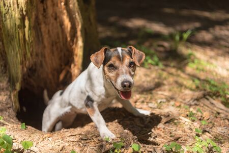 Jack Russell Terrier hound in the forrest. Hunting dog is looking out of a burrow Фото со стока