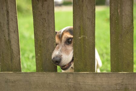 Little Jack Russell Terrier dog 12 years old. Dog squeezes his nose through the fence opening