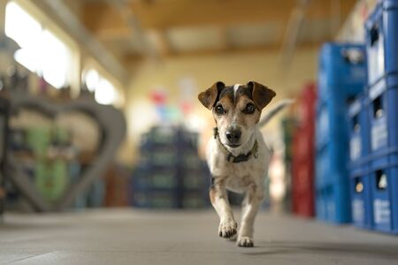 small dog in shopping market - cute little Jack Russell terrier, 13 years old is running through the mall Standard-Bild - 131484432