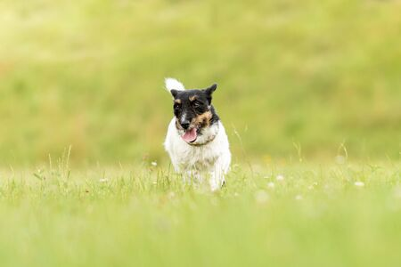 small old dog runs and flies over a green meadow in spring - Jack Russell Terrier Hound 3 years old Stok Fotoğraf