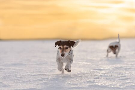 Cute Jack Russell Terrier dog is running fast in a atmospheric sunrise