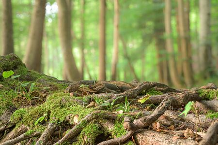 large roots of a tree in front of blurred green trees background Standard-Bild - 131485078