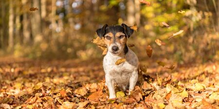 dog in the autumn forest - jack russell terrier Standard-Bild - 131485595