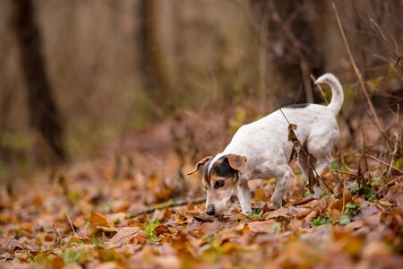 Purebred tricolor Jack Russell Terrier. Cute little dog follows a trail on a path between trees, grass, stones. Standard-Bild - 131485602