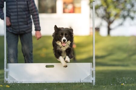 Dog jumps over hurdle - Border collie Standard-Bild - 131485607