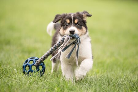Border collie dog puppy runs happily with a toy and plays Standard-Bild - 131485681