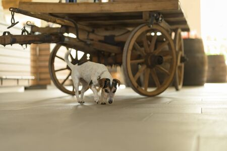 Little Jack Russell Terrier 13 years old is standing on tiles against blurred background