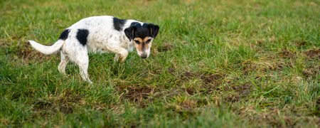 Jack Russell Terrier dog is waiting in front of a mouse hole in a meadow