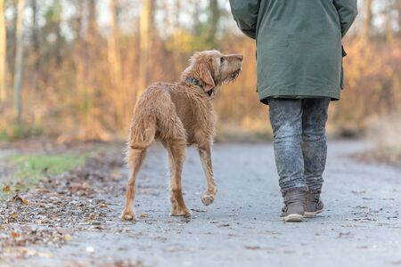 old Magyar Vizsla 13 years old. female dog handler is walking with her odedient old dog on the road in a forest in autumn Standard-Bild - 131485735