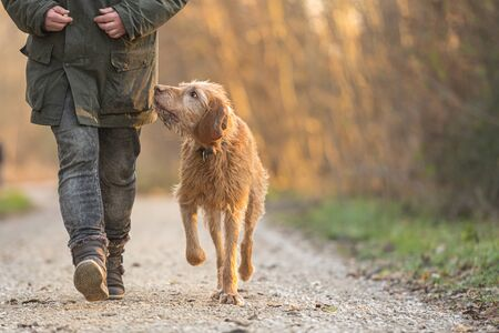 old Magyar Vizsla 13 years old. female dog handler is walking with her odedient old dog on the road in a forest in autumn Standard-Bild - 131485860