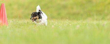 Jack Russell Terrier dog runs around a pylon