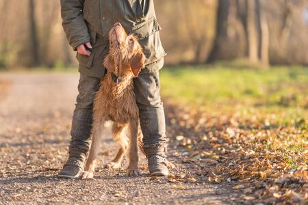 old Magyar Vizsla 13 years old. female dog handler is walking with her odedient old dog on the road in a forest in autumn