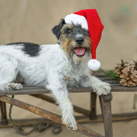 Little dog is posing in front of brown background on a brown sledge
