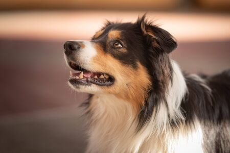 Cute obedient Border collie dog. Head Portrait