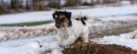 Cute Jack Russell Terrier dog is running over a snowy forest in winter.