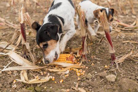 Jack Russell Terrier on a field in season Autumn. Dog eats a corncob 版權商用圖片