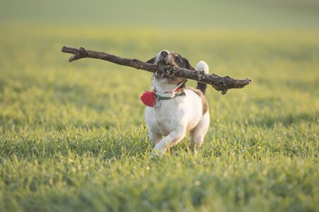 Little happy size madness Jack Russell Terrier dog carries a large branch on a green meadow