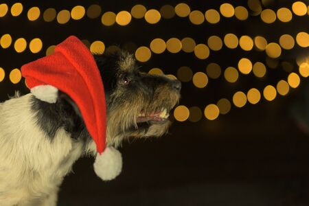 Cute Jack Russell Terrier Santa Claus dog  with faithful look in front of blurred background 스톡 콘텐츠