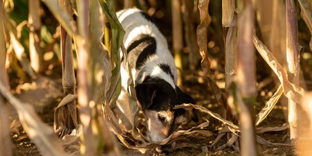 Jack Russell Terrier Dog has escaped and is following a lead in the maize field in autumn. Imagens