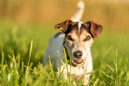 Jack Russell Terrier 13 years old. Portrait of a dog outdoor in nature in the season autumn.