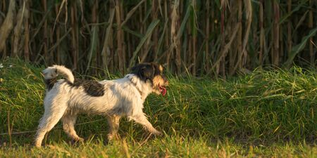 disobedient Jack Russell Terrier Dog has escaped and is running in front of a maize field. 版權商用圖片