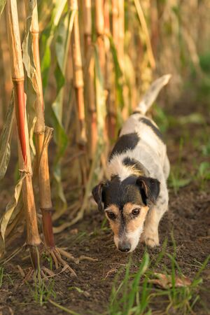 Jack Russell Terrier Dog has escaped and is following a lead in the maize field in autumn. 版權商用圖片