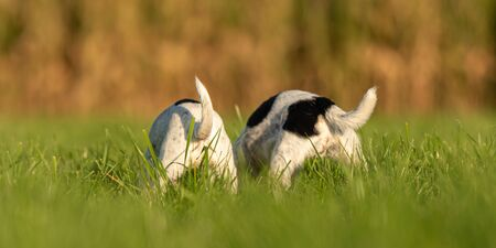 Two  cute Jack Russell Terrier dogs from behind. Sniffing and butts up in autum in a meadow Banco de Imagens