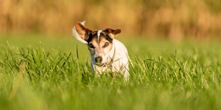 Cute little Jack Russell Terrier 13 years old. Portrait of a dog outdoor in nature in the season autumn.