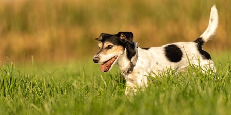 Cute little Jack Russell Terrier 10 years old. Portrait of a dog outdoor in nature in the season autumn.