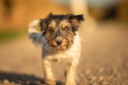 funny Jack Russell Terrier dog has a lot of fun while running on a street in the autumn season in beautiful soft light at sunset