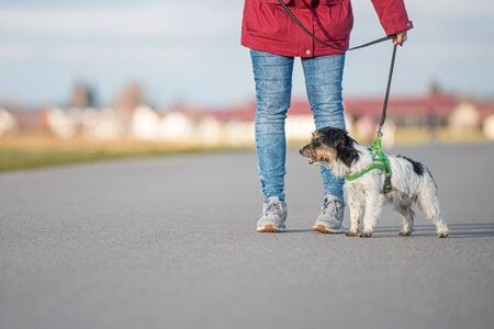 Woman is walking with a small obedient Jack Russell Terrier dog on a tar road