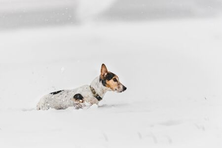 Jack Russell Terrier dog in the snow. Cute funny dog is running in front of snowy background
