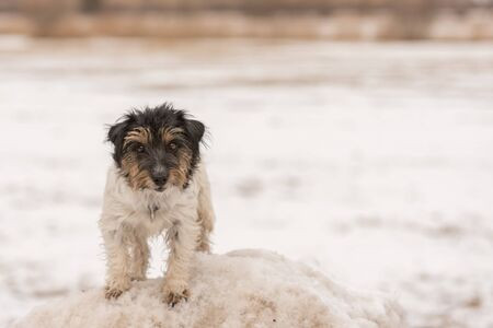 Little Jack Russell Terrier dog stands on a snow hill and looks into the camera in the season winter.   版權商用圖片