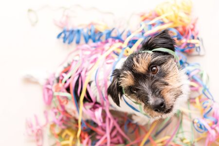 Cute Party Dog. Jack Russell ready for carnival Stock Photo