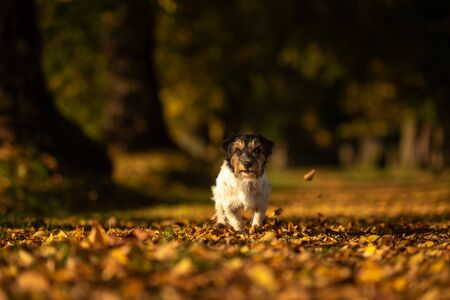 Purebred Jack Russell Terrier. Little cute dog is running in the woods on a path in the autumn leaves