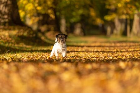 Purebred Jack Russell Terrier. Little cute dog is standing in the woods on a path in the autumn leaves