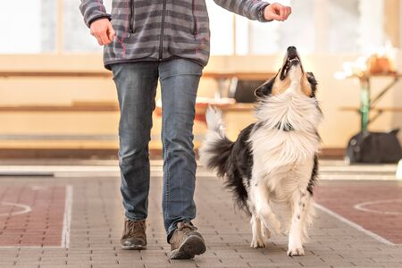 attentive Border Collie dog works together with his owner.