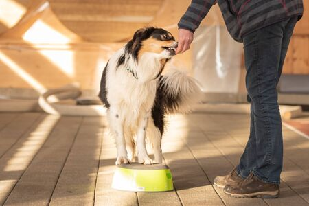 Border Collie Dog stands on a stool and with the help of the handler is supposed to turn on its own axis. 版權商用圖片