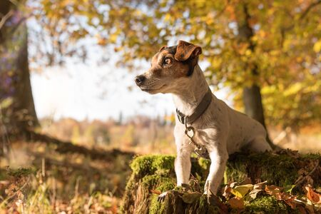 Cute Dog is sitting in autumn on a tree trunk. Jack russell terrier 10 years old