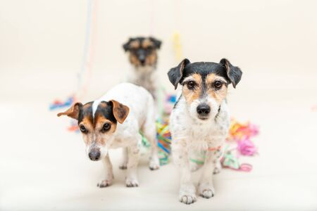 Three cute cheeky party dog. Jack Russell dogs ready for carnival  Banco de Imagens