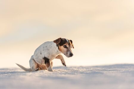 12 years old frozen Jack Russell Terrier dog is walking over a snowy meadow in winter. Small dog has cold feet.