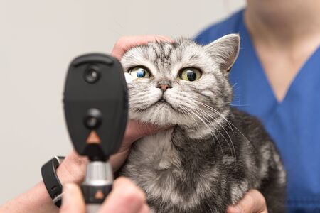 The cat is examined by the veterinarian. Vet lights up with the slit lamp in the eye of the  cute pet.
